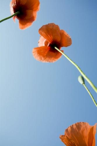 Nature et environnement - Coquelicots sur fond de ciel bleu | Philippe DUREUIL Photographie
