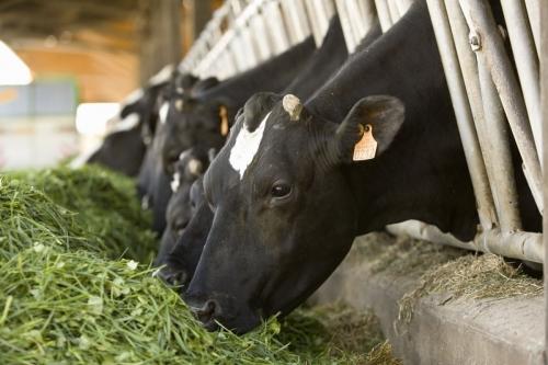 Reportage sur la production de lait bio réalisé en Bretagne pour le CNIEL | Philippe DUREUIL Photographie