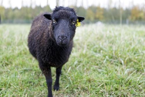 Photographie développement durable de reportage sur le thème de l'éco-pâturage réalisée sur commande pour Storengy. Mouton Ouessant sur le stockage de Cerville. | Philippe DUREUIL Photographie