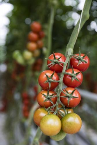 Photo développement durable, reportage sur la culture de tomates bio | Philippe DUREUIL Photographie
