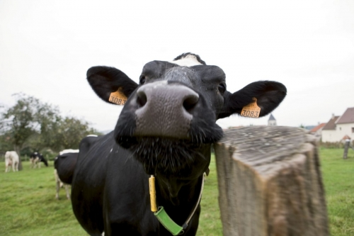 Vache | Philippe DUREUIL Photographie