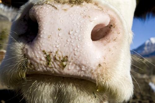 Museau de vache en gros plan | Philippe DUREUIL Photographie