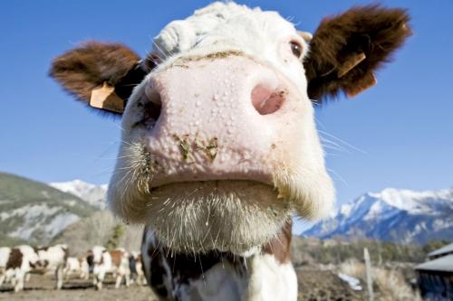 Tête de vache en contre plongée | Philippe DUREUIL Photographie