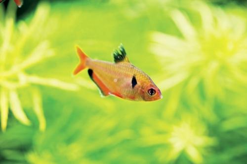 Poisson rouge dans un aquarium | Philippe DUREUIL Photographie