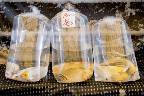 Poissons rouges dans 3 gros sacs en plastique | Philippe DUREUIL Photographie