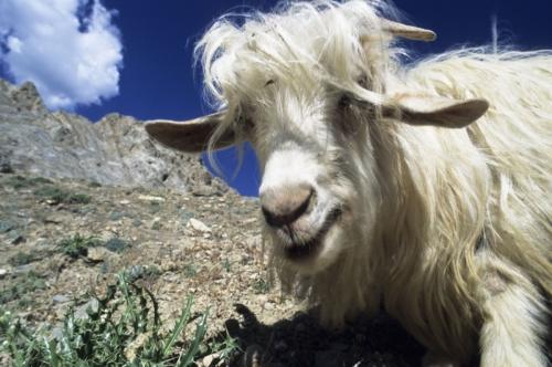 Yak dans la montagne   Philippe DUREUIL Photographie