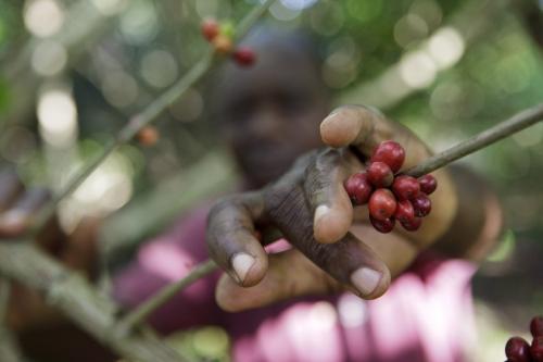Récolte de café | Philippe DUREUIL Photographie
