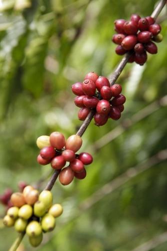 Cerises de café mûres sur la brance d'un caféier. Photo de reportage réalisée pour Nescafé® en Côte d'Ivoire. | Philippe DUREUIL Photographie