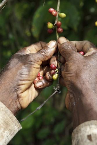 Photographie illustrant la cueillette manuelle du café. Photo de reportage réalisée pour Nescafé® en Côte d'Ivoire. | Philippe DUREUIL Photographie