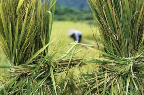 Récolte du riz au Vietnam | Philippe DUREUIL Photographie