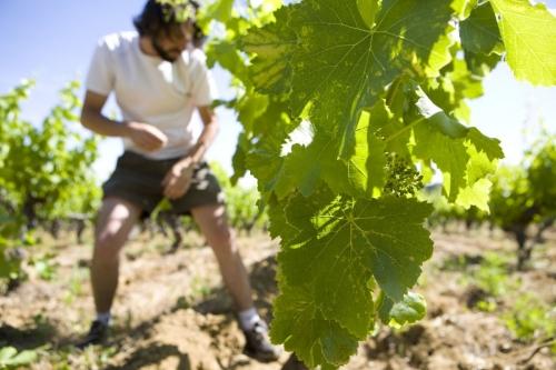 Viticulteur au travail dans les vignes - Méthode de culture biodynamique
