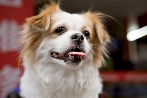 Portrait d'un chien qui tire la langue | Philippe DUREUIL Photographie