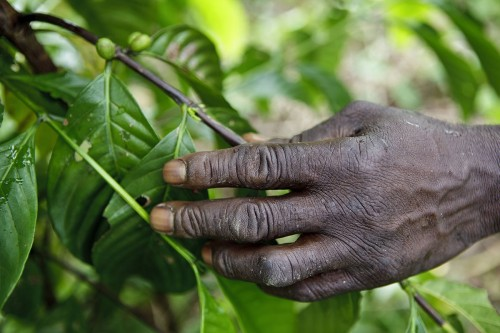 Main d'un planteur de café au travail qui tient la branche d'un caféier. Reportage photo sur la culture du café en Côte d'Ivoire réalisé pour Nescafé®. | Philippe DUREUIL Photographie