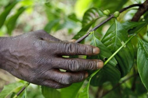 Planteur de café tenant dans sa main une branche de caféier, Côte d'Ivoire