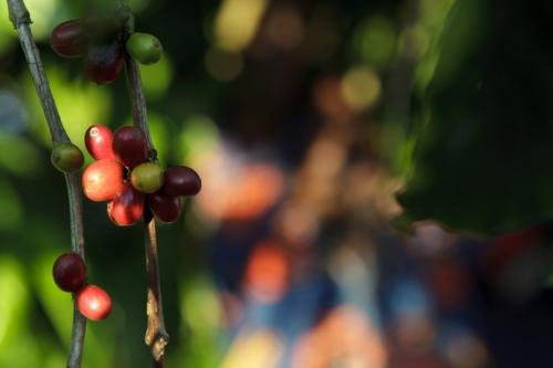 Cerises de café sur la branche d'un caféier en Côte d'Ivoire. Reportage photographique commandé par Nescafé®. | Philippe DUREUIL Photographie