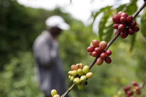 Cueillette manuelle des cerises de café en Côte d'Ivoire. | Philippe DUREUIL Photographie