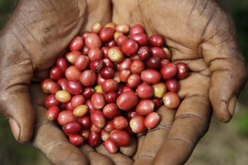 Cerises de café fraîchement cueillies, brillants au soleil dans les paumes d'un planteur | Philippe DUREUIL Photographie