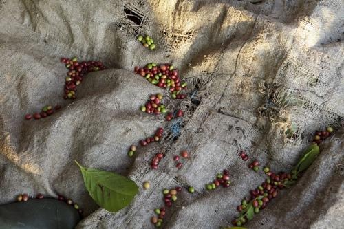 Photographie d'une bâche au sol pour illustrer la récolte du café | Philippe DUREUIL Photographie