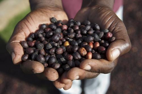 Poignée de cerises de café séches | Philippe DUREUIL Photographie