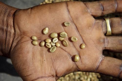 Grains de café vert dans la paume d'une main