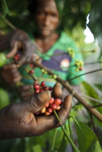 Reportage photographique sur la cueillette du café réalisé pour Nescafé® en Côte d'Ivoire. | Philippe DUREUIL Photographie