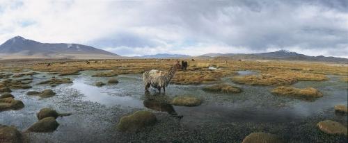 Photographie panoramique de l'altiplano avec des lamas en Bolivie