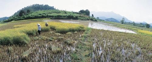 Photographie panoramique d'une rizière