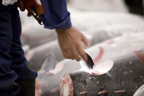 Un acheteur examine à la lampe de poche la chair du thon dans une entaille pratiquée sur la queue avant la vente aux enchères | Philippe DUREUIL Photographie