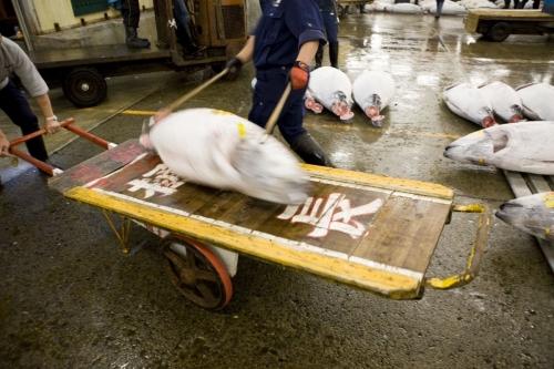 Chargement d'un thon sur un chariot à l'aide de pics | Philippe DUREUIL Photographie