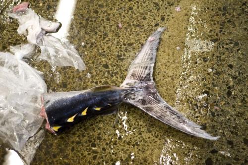 Queue d'un gros poisson au sol | Philippe DUREUIL Photographie